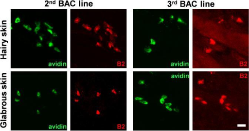 Multiple lines of BAC transgenic mice confirm mast cell specific MrgprB2 expression.Representative confocal images from two other BAC transgenic mouse lines. BAC mice expressing eGFP-Cre in the MrgprB2 open reading frame were mated to tdTomato reporter mice and tdTomato (red) expression was compared to avidin staining (green), a marker for mast cells. Scale bar is 20 μm.