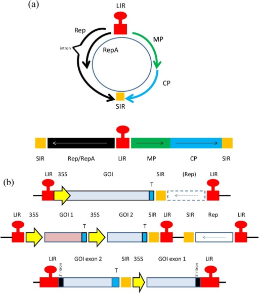 (a) Genomic organization of geminiviruses. An example of a mastrevirus is provided. Top; circular version, bottom; linearized version of genome. MP; movement protein, CP; coat protein, LIR and SIR; long and short intergenic regions; (b). Geminivirus expression constructs of past and present. Schematic representations of expression vector constructs based on geminiviruses. Top; example of an earlier expression vector. Middle; vector for co-expression of two different proteins, or complex multimeric protein such as monoclonal antibodies. Bottom; foreign gene is expressed in the form of two exons, and protein expression can only take place upon intron processing. In this case, Rep is expressed from an additional construct. GOI; gene of interest, 35S; 35S CaMV promoter, T; terminator. Hatched box; Rep gene could be present in cis in this construct, or expressed in trans from another construct. (middle construct sourced from [15], bottom construct sourced from [16]).
