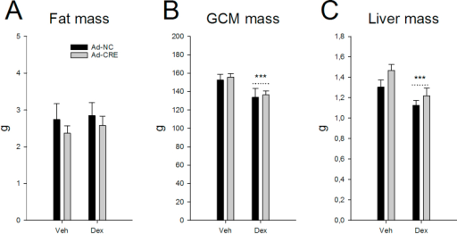 Body composition with liver GR loss in dexamethasone treatment. Fat mass (A), gastrocnemius complex muscle mass (B) and liver mass (C) in GR-floxed mice pre-treated with adenoviral constructs expressing (Ad-CRE) or not (Ad-NC) Cre-recombinase with (Dex) or without (Veh) chronic dexamethasone treatment (N = 6–7/group). Data are mean ± SEM. Effect of Ad-CRE: *p < 0.05, **p < 0.01, ***p < 0.001. Effect of Dex: #p < 0.05, ##p < 0.01, ###p < 0.001.