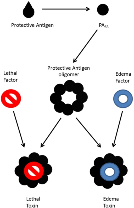 Formation of toxin from B. anthracis. Protective antigen is cleaved and oligomerizes, then binds lethal factor to form lethal toxin, edema factor to form edema toxin, or both to form a mixed toxin.