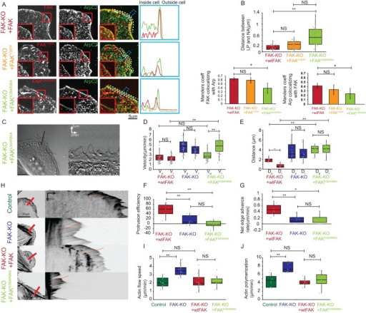 FAK–Arp2/3 interaction promotes recruitment of Arp2/3 to NA to mediate efficient protrusion and leading edge advance. (A) Left, representative confocal micrographs of FAK−/− knockout (FAK-KO) MEF cells transfected with mCherry-tagged wild-type FAK (FAK-KO + wtFAK; top), eGFP-tagged FAKY397F mutant (FAK-KO + FAKY397F; middle) or mCherry tagged FAKK38AR86A mutant (FAK-KO + FAKK38AR86A; bottom), showing respective FAK channel in red and immunostaining for ArpC2 subunit of the Arp2/3 complex (green), with color overlay. Zoom of the red box is shown in the inset of each channel. Blue box indicates the position of the line scan used for quantification of fluorescence intensities in right panel and B, top. White box indicates the position of the line scan used for quantification of colocalization coefficients in B, bottom left and bottom right. Scale bar, 5 μm. Right, representative line scans of fluorescence intensities of mCherry-FAK or mCherry FAKK38AR86A (top and bottom; red) or EGFP- FAKY397F (middle; red) and intensity of immunostained ArpC2 subunit of Arp2/3 complex (green). (B) Top, box plot of distance between the peak of fluorescence intensity of line scans of the ArpC2 subunit of Arp2/3 complex immunostaining to the peak of fluorescence intensity of line scans of the indicated expressed FAK mutant, FAK-KO + wtFAK (red), FAK-KO + FAKY397F (yellow), and FAK-KO + FAKK38AR86A (light green; 38 protrusions/condition, five to seven cells/condition). Bottom left, bar plot of the Manders coefficient of colocalization for indicated expressed FAK constructs with immunostained ArpC2 subunit of the Arp2/3 complex, FAK-KO + wtFAK (red), FAK-KO + FAKY397F (yellow), and FAK-KO + FAKK38AR86A (light green). Bottom right, bar plot of the Manders coefficient of colocalization for immunostained ArpC2 subunit for the Arp2/3 complex with indicated expressed FAK construct. Error bars indicate SD (five cells/condition). **p < 0.0001, *p < 0.005; NS, not significant; Mann–Whitney U test. (C) Representative DIC micrograph of FAK-KO MEFs expressing mCherry-tagged FAKK38AR86A imaged 4 h after plating on fibronectin-coated coverslips. Black line indicates the line along which the kymograph on the right was obtained. Scale bars, 10 μm (left), distance 2 μm, time 2 min (right). (D) Box plot of velocities (μm/min) of protrusion (Vp) and retraction (Vr) of FAK-KO cells expressing the noted FAK construct (10–12 cells/condition). Color coding in D–G, I, J: FAK-KO + wtFAK cells (red), FAK-KO + FAKK38AR86A cells (light green), and FAK-KO cells (blue). (E) Box plot of distances (μm) of protrusion (Dp) and retraction (Dr) of FAK-KO cells expressing the noted FAK construct (10–12 cells/condition). (F) Box plot of protrusion efficiency (%) for FAK-KO + FAK, FAK-KO, and FAK-KO + FAKK38AR86A cells (10–12 cells/condition). (G) Box plot of net edge advance (μm/min) of FAK-KO + FAK, FAK-KO, and FAK-KO + FAKK38AR86A cells (10–12 cells/condition). **p < 0.0001, *p < 0.005; NS, not significant; Mann–Whitney U test. Note: FAK-KO data are the same as in Figure 1. (H) Left, representative inverted-contrast confocal micrographs of eGFP-actin in FAK+/+ MEFs expressing eGFP-actin (control, top) and in FAK-KO (second row), FAK-KO + FAK (third row), or FAK-KO + FAKK38AR86A cells (bottom). The red bar indicates the line along which the kymograph (right) of eGFP-actin was done, in which the red line shows an example of a slope of retrograde actin flow used to measure actin flow velocity. (I) Box plot of speed of retrograde actin flow (μm/min) from protrusions in FAK+/+ (control, dark green in I and J), FAK-KO, FAK-KO + wtFAK, and FAK-KO + FAKK38AR86A cells (15–23 cells/condition). (J) Box plot of actin polymerization rate (μm/min) calculated as the sum of protrusion rate and retrograde actin flow rate in control, FAK-KO, FAK-KO + wtFAK, and FAK-KO + FAKK38AR86A cells (15–23 cells/ condition). ). **p < 0.0001, *p < 0.005; NS, not significant; Mann–Whitney U test.