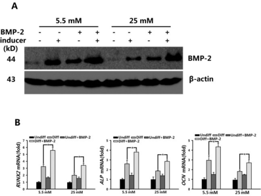 Up-regulated expression levels of RUNX2 by BMP-2 promoted BMSC osteogenic differentiation in normal (5.5 mM) and high-glucose (25 mM) conditions.A: The level of endogenic BMP-2 in BMSCs grown in basal osteogenic medium containing normal (5.5 mM) or high glucose (25 mM), or in the absence or presence of BMP-2 (100 ng/mL) for 7 d were measured by Western blot.B: Real-time PCR analysis of RUNX2, ALP, and OCN expression in BMSCs after 7-d culture in basal medium (Undiff) and osteogenic medium (Diff), containing normal (5.5 mM) or high glucose (25 mM) in the absence or presence of 100 ng/mL BMP-2. β-Actin was used as a control for equal loading. Results represent the mean ± SD from three independent experiments performed in triplicate. *P < 0.05 vs. the normal /Diff groups
