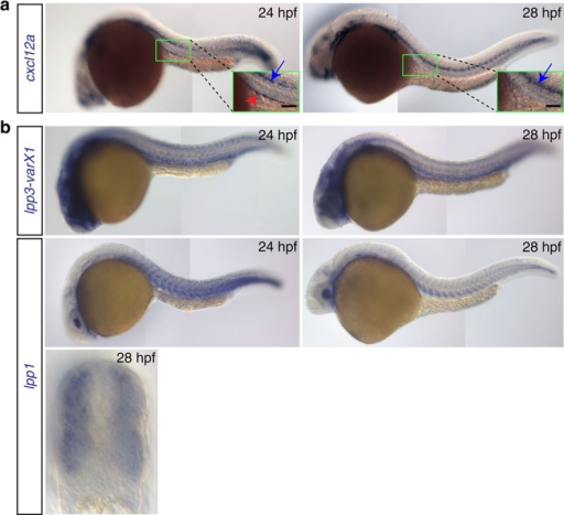 Expression patterns of cxcl12a and lpp variants.(a) cxcl12a is expressed at the site where the gonad develops within a 24 hpf embryo (green box and red arrowhead in the inset in the left panel), but not in 28 hpf embryos (right panel). Higher expression level of cxcl12a is detected in the lateral line (blue arrows). Scale bar, 50 μm. (b) lpp1 (variants X1 and X2) and lpp3 are expressed in the somites and developing vessels. See also Supplementary Fig. 3.