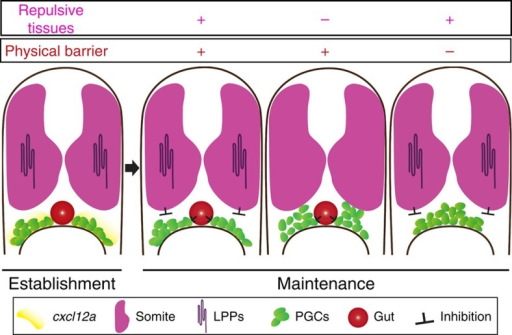 Progenitor cell positioning at target site.An illustration demonstrating the interplay of repulsive cues and physical barriers within the embryo that govern the positioning of PGCs at the site of the developing gonad. At the time of PGC clusters initial formation, the guidance cue cxcl12a RNA is expressed at the migration target (yellow). In the following stages the chemokine is not expressed, calling for other mechanisms maintaining the position of the germline progenitors. In wild-type embryos dorsal repulsive tissues (somites expressing LPPs in magenta) inhibit the dorsal migration of PGC clusters, while the developing gut (red) acts as a physical barrier separating the clusters, thereby contributing to the formation of distinct cell clusters at the site of developing organ. In embryos deficient for the function of LPPs or lacking the physical barrier, the PGCs exhibit abnormal positioning.