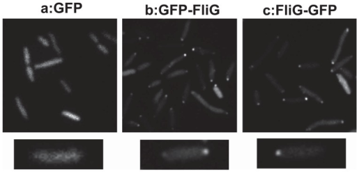 Cellular localization of GFP-fused FliG in multiple polar flagella mutants. MK1 cells harboring plasmids (a: pTY200 (GFP), b: pTY201 (GFP-FliG), or c: pTY202 (FliG-GFP) ) were grown in VPG medium containing 2.5 μg/ml chloramphenicol and 0.1% arabinose at 30°C for 4 hr. Cells were observed by fluorescence microscopy as described in the Materials and Methods.