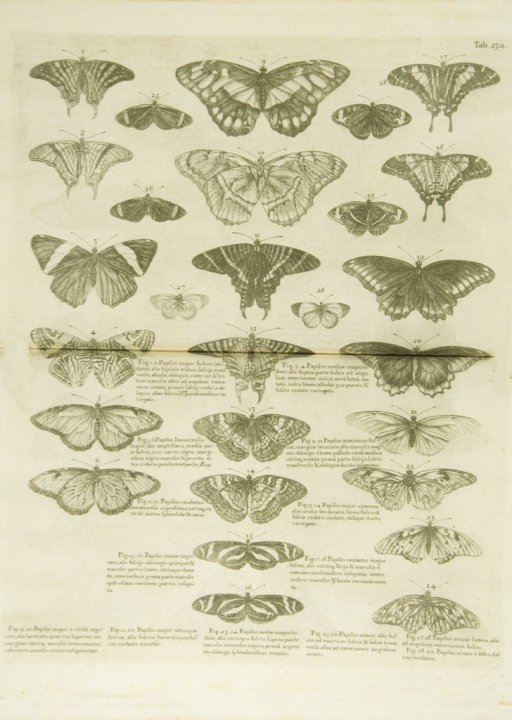 <p>Illustration of twenty-four types of butterflies.</p>