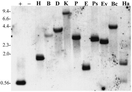 Whole genome blot analysis of vacuolar type H+-ATPase subunit A gene in A. thaliana. Each lane represents 5 μg genomic DNA digested with the indicated restriction enzyme. Restriction enzymes used were; H, HindIII, B, BglII, D, DraI, K, KpnI, P, PvuII, E, EcoRI, Ps, PstI, Ev, EcoRv, Bc, BclI, and Ha, HaeIII. Hybridization was to a single band in each lane except for HaeIII due to the presence of a recognition site in the region corresponding to the probe. Positive hybridization control was 20 pg of unlabeled probe DNA generated via PCR. HindIII digested lambda DNA (2 μg) was used as negative control. Numbers to the left of the blot indicate the approximate size of DNA fragments (in kilobases) as determined by HindIII digestion of Lambda DNA.