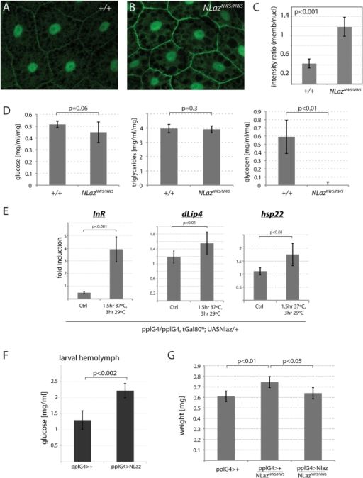 NLaz antagonizes IIS in larvae.(A–C) tGPH fluorescence [50] in larval fatbodies. (A) NLazCNW14/CNW14. (B) NLazNW5/NW5. Membrane localization of tGPH is increased in NLaz mutants compared to isogenic wild-type controls, indicating elevated PI3K activity. (C) Ratios of average membrane vs. nuclear fluorescence as determined using NIH ImageJ on images of fatbody cells of independent individuals. n = 6 for NLazCNW14/CNW14, n = 10 for NLazNW5/NW5. P value from Student's T test. (D) NLaz mutant third-instar larvae (homozygotes for NLazNW5/NW5) exhibit strongly decreased Glycogen stores compared to isogenic wild-type controls (NLazCNW14/CNW14). Glucose and Triglyceride levels do not differ in wild-type or NLaz mutant larvae. (E) Established Foxo target genes are induced in response to NLaz overexpression in the larval fatbody. Real-time PCR was performed to quantify dInR, dLip4, and hsp22 transcript levels in extracts of whole third-instar larvae. Transcript levels were normalized to actin5C and ratios of transcript levels in NLaz expressing larvae (pplG4/pplG4,tubGal80ts; UASNLaz/+) and in wildtype controls (pplG4/pplG4, tubGal80ts; +/+) are shown for control conditions (18°C) and after heat-shock. p-values from Student's Ttest. (F) Over-expression of NLaz in the fatbody results in elevated hemolymph glucose levels. Experiments were performed in larvae of the following genotypes: pplG4/+;+/+; pplG4/+; UASNlaz/+. (G) Comparison of adult sibling males of the following genotypes, reared at 29°C: pplG4; +/+. pplG4,NLazNW5/NW5;+/+; pplG4,NLazNW5/NW5;UASNlaz/+. Overall weight is increased in NLaz mutants. Size is decreased again in animals over-expressing NLaz in the fatbody. Fresh weight of males of the indicated genotypes.