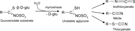 Hydrolysis of glucosinolates and degradation of the unstable aglycone to isothiocyanates, nitriles and athiocyanates.