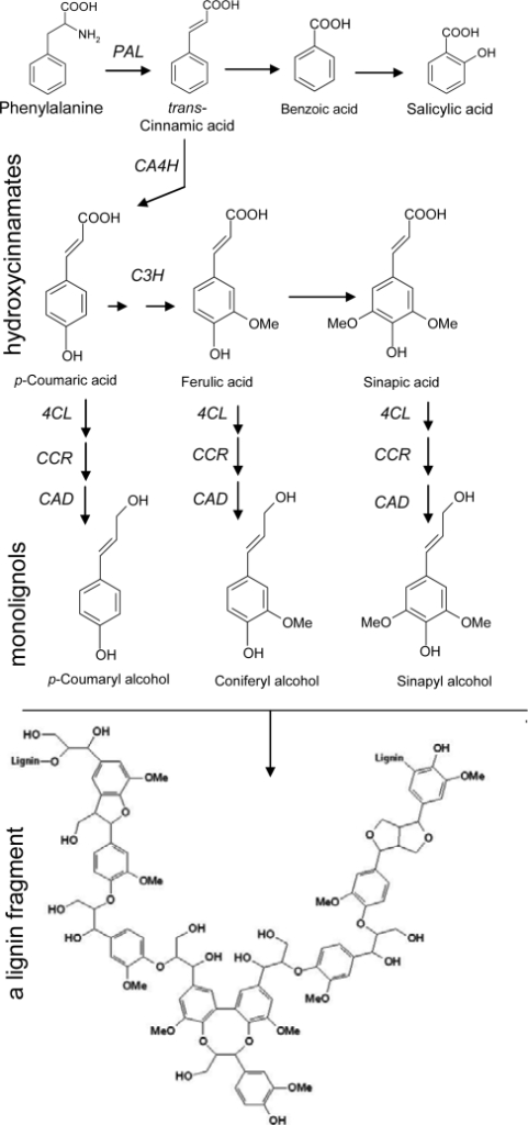 Main steps of the phenylpropanoid pathway leading to benzoic acids, hydroxycinnamates (coumaric, ferulic and sinapic acids) and lignin, (CA4H, cinnamate-4-hydroxylase; C3H, coumarate-3-hydroxylase; CAD, cinnamyl alcohol dehydro-genase CCR, cinnamoyl: CoA reductase; CL, 4-Coumarate: CoA ligase; PAL, phenylalanine ammonia-lyase.