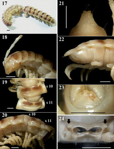 Chamberlinius pessior sp. n., holotype. 17 Entire body, dorsal view 18 Anterior body portion, lateral 19, 20 segments 10 and 11, dorsal and lateral views, respectively 21, 22 Epiproct, dorsal and lateral views, respectively 23 Hypoproct, ventral view 24 Spiracle-bearing cones lateral to gonopod aperture (arrows). Scale bar: 1.0 mm. s10 and s11: segments 10 and 11 separately.