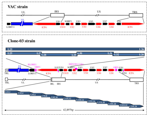 The comparison of genomic organization between the DEV Clone-03 strain and the published VAC strain, together with the PCR strategy. The upper part shows the genomic organization of sequences corresponding to those in the present study in the published sequences of the genome of the DEV VAC strain. The genomic organization of the presented fragment in the DEV Clone-03 is listed below. The red and blank arrows indicate the ORFs, with different colours to make two adjacent ORFs evident. The pink arrows indicate the ORFs that were not detected in other heprsviruses but were detected in DEV. The dark blue indicates the UL region; the dashed gray boxes in the genome of DEV Clone-03 indicate uncertain regions. The PCR strategy used to obtain the fragment is depicted at the bottom. The blue arrows indicate the twelve overlapping fragments that were obtained to form a continuous DNA fragment; the primer positions and amplification directions are also shown. The arrows indicate the genes and the interval shows the relative position of the two adjacent ORFs. The confirmation PCR strategy is depicted in the centre. The bars indicate the PCR product with the primers embedded. The green ellipse indicates the predicted origins of replication (oriS).