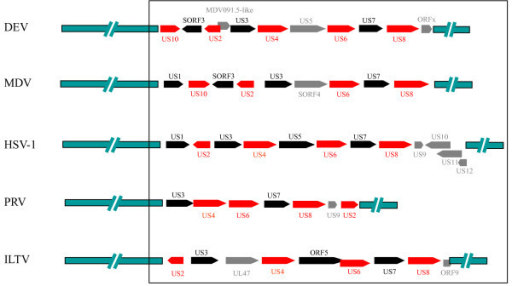 Comparison of genes in the DEV and alphaherpesvirus US regions. The comparison was based on the published sequences (37, 21, 20, 49). The red and blank arrows indicate the ORFs that were homologous in different alphaherpesviruses. The gray arrows indicate the ORFs that not exist in all the selected viruses. The green bars in the leftmost and rightmost parts indicate the sequences of the genomes, except for the US region. The targeted regions compared in this study are boxed.