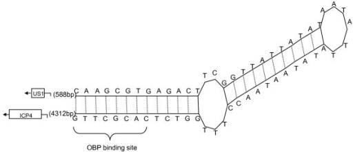 Hairpin-like secondary structure reflecting palindromic nature of sequences of oriS. The arrows and boxes at flanking the palindromes represented the two genes that flanked the oriS. The distances in nucleotides between the oriS sequence and the two genes are shown in brackets.