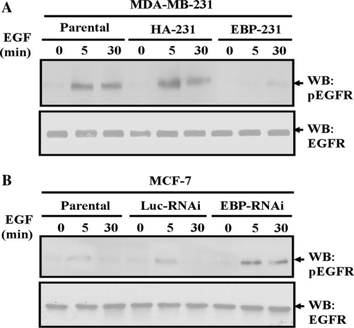 EBP50 expression blocked EGF-stimulated EGFR phosphorylation in breast cancer cells. a EBP50 overexpression retarded EGF-stimulated EGFR phosphorylation in MDA-MB-231 cells. EGF (100 ng/ml for 5 or 30 min)-stimulated EGFR phosphorylation in EBP-231 cells was significantly lower than that in its control cells. b EBP50 knockdown promoted EGF-stimulated EGFR phosphorylation in MCF-7 cells. EGF (100 ng/ml for 5 or 30 min)-stimulated EGFR phosphorylation in EBP-RNAi/MCF-7 cells was significantly higher than that in its control cells. Total expression levels of EGFR were unaffected by the different expression levels of EBP50 during EGF stimulation. The data presented are representative of a minimum of three independent experiments