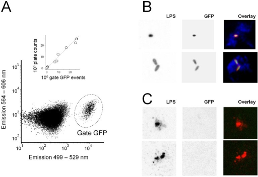 Detection of intact and damaged Salmonella cells in infected mouse tissues.A) Flow cytometry of a spleen homogenate infected with Salmonella sifB::gfp using 488 nm excitation. Gate 1 contains GFP-positive Salmonella. The inset shows the relationship between flow cytometry data and plate counts for individual mice, the dashed line represents a 1∶1 ratio. B) Confocal micrographs of liver cryosections infected with Salmonella sifB::gfp that were stained with antibodies to Salmonella lipopolysaccharide (red) and macrophage marker CD68 (blue). Individual color channels are shown with inverted grey scale for better visualization of weak staining. Micrographs represent typical observations for four independently infected mice. C) Confocal micrographs of lipopolysaccharide-positive particles that lack detectable GFP (even when contrast was increased compared to B). Such particles were absent in non-infected control sections.