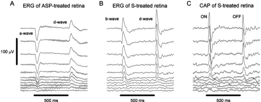 Waveforms for ERG of ASP-treated retina, and for ERG and CAP of saline-treated retina.(A) Waveforms of electroretinogram (ERG) of aspartate (ASP)-treated retina, (B) ERG of saline (S)-treated retina, and (C) compound action potential (CAP) of S-treated retina at increasing irradiance levels. Stimulus irradiance was incremented in 0.3 log unit steps. The ERG a-wave from ASP-treated retina was used to estimate the photoresponse of cones; the ERG b-wave from S-treated retina was used to estimate the light-evoked response of the output of cones; and the ON response of CAP from S-treated retina was used to estimate the light-evoked response of the optic nerve. Note that individual waveforms were vertically displaced for clarity of presentation. Horizontal thick lines indicate the time and duration of the light stimulus.