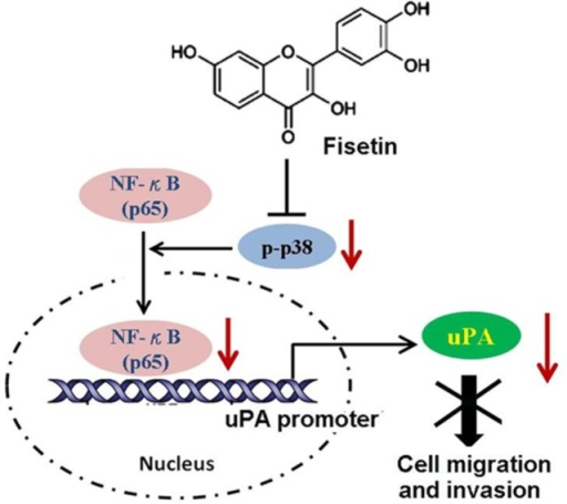 The proposed fisetin model in inhibiting the migration and invasion of cervical cancer cells.Fisetin inhibits the phosphorylation of p38 MAPK and impairs translocation of NF-κB to the nucleus. The decreased NF-κB in the nucleus reduces its binding on the promoter of the uPA gene, and results in repressing the expression and activity of uPA, thereby disrupting the migratory and invasive ability of cervical cancer SiHa cells.