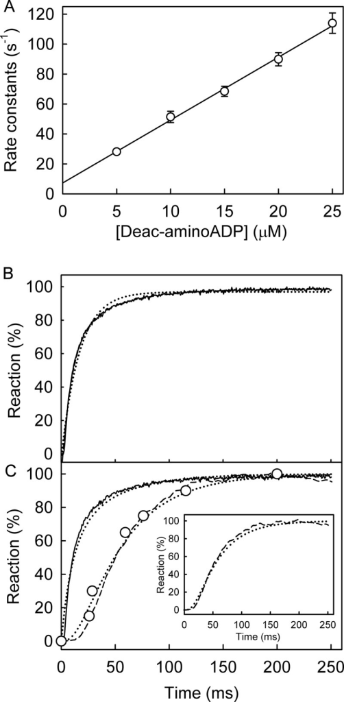PcrA helicase ATPase kinetics with deac-aminoATP: binding, hydrolysis, and Pi release.A, shown is PcrA·dT20 binding deac-aminoADP. Deac-aminoADP at various concentrations was mixed in the stopped flow apparatus with 0.5 μm PcrA and 2.5 μm dT20. Traces were fitted by single exponentials. The observed rate constants are shown as a function of concentration, and the best linear fit (Equation 3) gives an association rate constant of 4.2 ± 0.3 μm−1 s−1 and a dissociation rate constant of 7.3 ± 2.2 s−1, resulting in a dissociation constant of 1.7 μm. B, shown is deac-aminoATP binding with excess RecD2. The concentrations were 2 μm deac-aminoATP, 8 μm PcrA, 10 μm dT20. The time course of fluorescence (solid line) was fitted by a double exponential. The initial increase in fluorescence had a rate constant of 130 ± 3 s−1, and this was followed by a slower change in fluorescence with a rate constant of 26.2 ± 0.9 s−1. C, shown is deac-aminoATP cleavage and Pi release. The concentrations were as for panel B. The binding traces were repeated from panel B. Deac-aminoADP formation (circles) was measured using quench flow and HPLC. Pi release (dashed line) was measured in the presence of 10 μm rhodamine-PBP. The simulation in Fig. 5 was applied to fit the dataset. The simulated binding and cleavage are the dashed line in the main panel. The simulated Pi release is in the inset. This gave the observed first order rate constant for deac-aminoATP binding (equivalent to [PcrA] × k+1a) at 100 s−1 followed by a conformation change (equivalent to k+1b) at 29 s−1, hydrolytic cleavage at >100 s−1 and Pi release at >300 s−1.