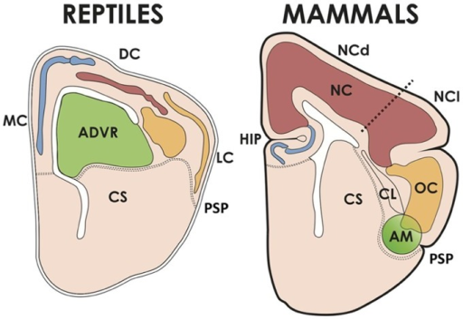The cerebral hemispheres of reptiles and mammals. The pallium of reptiles has medial/dorsomedial (MC), dorsal (DC, corresponding to the avian hyperpallium) and lateral (LC) cortices; and a dorsal ventricular ridge, whose anterior part (ADVR) corresponds to the avian nido and mesopallium. The MC of reptiles corresponds to the hippocampus (HIP) of mammals, and the LC is homologous to the mammalian olfactory cortex (OC). The mammalian neocortex (NC) comprises two moieties, one dorsal (NCd, receiving lemnothalamic somatosensory and visual inputs), and one lateral (NCl, receiving auditory and visual collothalamic inputs). AM, pallial amygdalar formation, CL, claustrum, CS, corpus striatum, PSP, pallial-subpallial boundary.