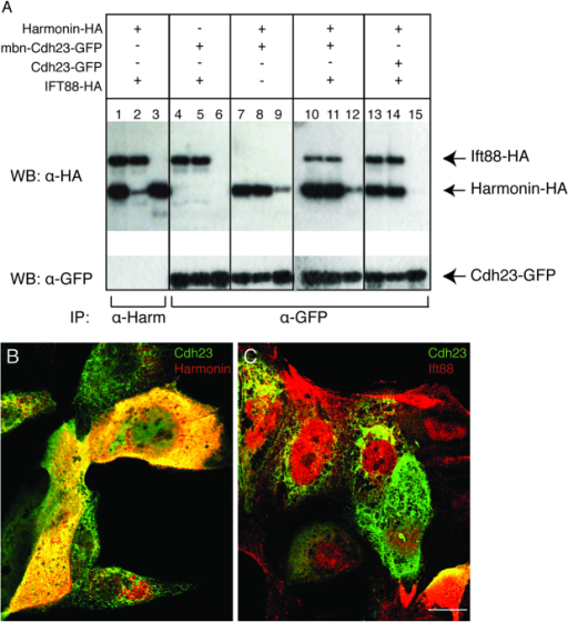 Harmonin and Cdh23 bind directly to each other, but not to Ift88. (A) Co-immunoprecipitation. MDCK cells were transfected as indicated by (+) with combinations of DNA vectors encoding Harmonin-HA, mbn-Cdh23-GFP, Cdh23-GFP or IFT88-HA. Input lanes: 1,4,7,10,13. Unbound fraction lanes: 2,5,8,11,14. Bound fraction lanes: 3,6,9,12,15. Immunoprecipitation was performed with an antibody against Harmonin (α-Harm) or GFP (α-GFP). (B,C) Confocal sections of transfected MDCK cells. (B) Double immunolabeling of mbn-Cdh23-GFP (green) and Harmonin (red). (C) Double immunolabeling of mbn-Cdh23-GFP (green) and Ift88 (red). Harmonin-HA: full-length zebrafish Harmonin isoform A fused to HA-tag at the C-terminal. mbn-Cdh23-GFP: zebrafish Cdh23 membrane bound cytoplasmic domain fused to GFP at the C-terminal. Cdh23-GFP: zebrafish Cdh23 cytoplasmic domain fused to GFP at the C-terminal. Ift88-HA: full-length zebrafish Ift88 fused to HA-tag at the C-terminal. Scale bar: 7.5 μm.