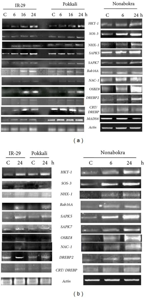 Semiquantitative RT-PCR analysis showing differential gene expression in leaf tissues (a) and roots (b) of 12-day-old seedlings of IR-29 (salt sensitive), Pokkali, and Nonabokra (both salt tolerant) rice cultivars in response to salinity stress (200 mM NaCl); salt stress was imposed for 6/16/24 hours (in IR-29 and Pokkali) and for 6/24 hours (in Nonabokra) to detect transcript level in leaves, whereas for roots, the durations of stress treatment were 24 hours (in IR-29 and Pokkali) and 6/24 hours (in Nonabokra); the expression of each gene was compared relative to its expression in control C (untreated) sample (0 h).