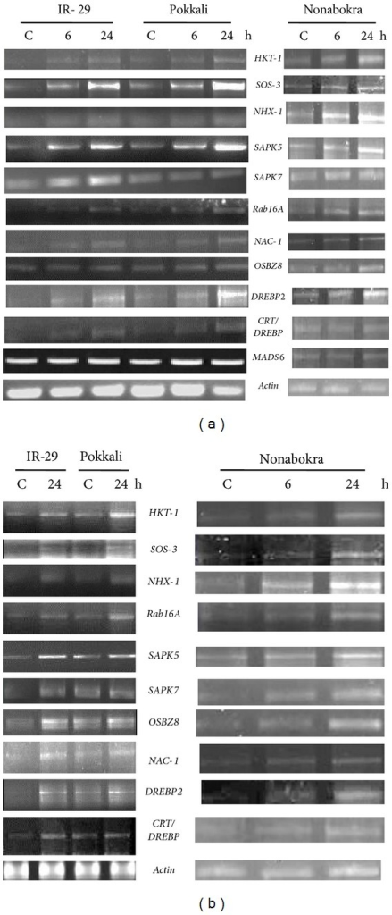 Semiquantitative RT-PCR analysis showing differential gene expression in leaf tissues (a) and roots (b) of 12-day-old seedlings of IR-29 (salt sensitive), Pokkali, and Nonabokra (both salt tolerant) rice cultivars in response to cold (4°C); stress was imposed for 6/24 hours to detect the transcript level in leaves, whereas for roots, the durations of stress treatment were 24 hours (in IR-29 and Pokkali) and 6/24 hours (in Nonabokra); the expression of each gene was compared relative to its expression in control C (untreated) sample (0 h).