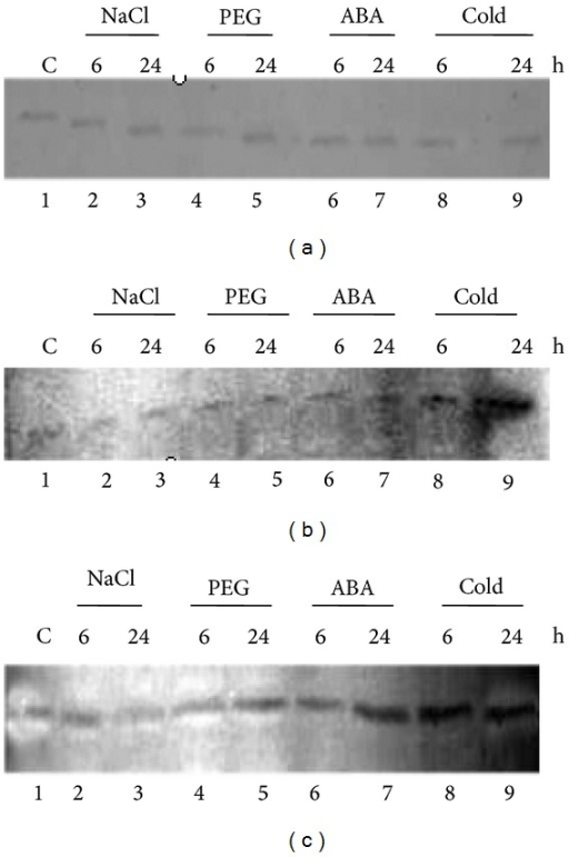 Immunoblot analysis to study the protein expression in response to salinity (200 mM NaCl), PEG (20%)-mediated dehydration, ABA (100 μM), and cold (4°C) using total protein isolated from 12-day-old leaves of Nonabokra and the antibodies raised against (a) OSBZ8 (38 kDa), (b) SAMDC (38 kDa), and (c) GST (28 kDa).