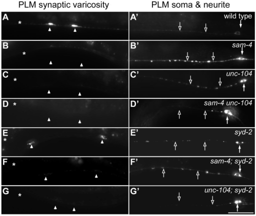 sam-4 and syd-2 interact with unc-104 in transporting SVs.GFP-RAB-3 (jsIs821) distribution in PLM neurons of wild type and mutant animals as indicated. A–G panels are focused on the PLM synaptic varicosities and A′–G′ panels are focused on the PLM soma and the proximal portion of the neurite. Alleles tested: sam-4(js415), unc-104(js901) and syd-2(ok217). Arrowheads: synaptic varicosities; solid arrows: PLM soma; open arrows: PLM neurites; asterisk: vulva. Scale bar: 20 µm.