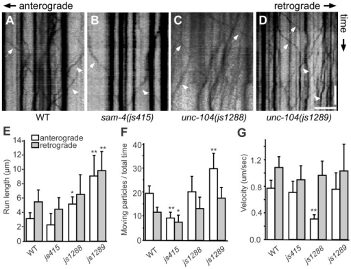 Live imaging of GFP-RAB-3 trafficking in unc-104 mutants.(A–D) Representative SV trafficking kymographs in different genetic backgrounds. Arrowheads: anterograde movements; arrows: retrograde movements. Horizontal scale bar 5 µm; vertical scale bar 5 sec. (E–G) Quantification of anterograde and retrograde GFP-RAB-3 trafficking in mid-L1 stage animals. (E) Average of run length of GFP-RAB-3 particles, (F) Moving particles observed in 40 sec, (G) Average velocity of moving particles. *, P<0.01 relative to wild type; **, P<0.001 relative to wild type, n = 15.