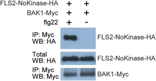 Extracellular domain of FLS2 can mediate interaction with BAK1.Co-immunoprecipitation experiments performed using 35S–FLS2-NoKinase-HA (construct lacking the FLS2 intracellular domain) and 35S–BAK1-Myc transiently expressed in Nicotiana benthamiana leaves by agroinfiltration. Samples were prepared for SDS-PAGE two days after agroinfiltration, two minutes after flg22 or water (mock) was infiltrated into leaves. IP: antibody used for immunoprecipitation prior to SDS-PAGE; WB: antibody used for immunodetection on protein blot; crude: SDS-PAGE and blotting of total (crude extract) protein samples. The experiment was repeated three times with similar results.