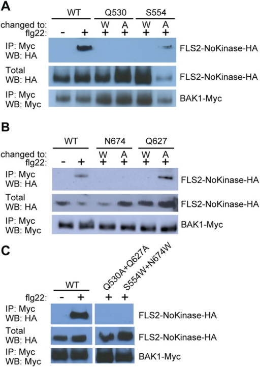 FLS2 residues Q530, S554, Q627 and N674 are important for FLS2-BAK1 ectodomain interaction in the presence of flg22.Co-immunoprecipitation experiments performed in N. benthamiana with 35S–FLS2-NoKinase-HA with mutations as indicated or WT (no mutations), and with 35S–BAK1-Myc. Flg22-dependent interaction between FLS2-NoKinase and BAK1 not detected for (A) FLS2 carrying Q530A, Q530W or S554W mutations, (B) FLS2 carrying N674A, N674W or Q627W mutations, or (C) FLS2 carrying Q530A+Q627A or S554W+N674W double mutations. Labeling as in Figure 1.