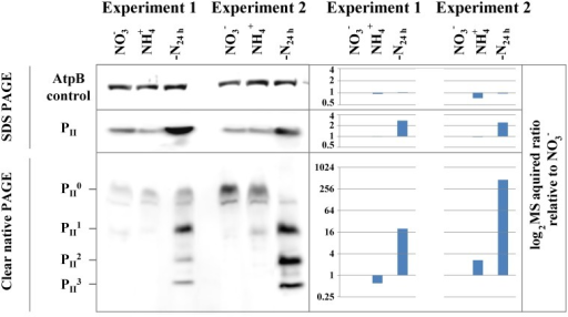Immunoblot validation of PII protein and phosphorylation dynamics. The change in protein abundance (SDS PAGE) and phosphorylation (Clear native PAGE) of the N-regulatory PII protein between nitrate- (NO−3) or ammonia-grown (NH+4) and 24h h nitrogen starved cells (-N24h) from both experiments is shown on the left panel. P0II represents the unphosphorylated trimeric complex and P1–3II represent P II trimers with one, two and three phosphorylated subunits. The AtpB protein serves as loading control for SDS and Clear native PAGE. Corresponding MS acquired protein and phosphorylation event ratios in log2 scale, relative to the NO−3 are shown on the right panel.