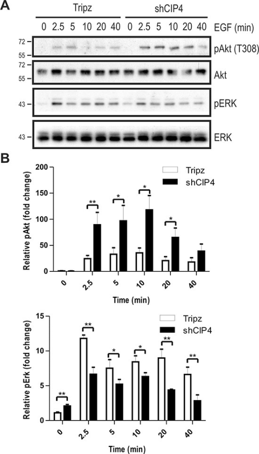 CIP4 silencing alters EGFR signaling to Akt and ERK kinases(A) MDA-MB-231 Tripz or shCIP4 were treated with Dox (2 μg/ml for 48 hours) prior to serum starvation and treatment with EGF (50 ng/ml) for the indicated times (min.). Lysates were subjected to immunoblot with the indicated antibodies. Positions of molecular mass markers are indicated on the left. (B) Densitometry was performed and phosphoprotein levels were normalized to total protein levels, and expressed as fold change relative to time 0 (mean ± sem is shown for 4 separate blots from 2 experiments; *p < 0.05, **p < 0.01).