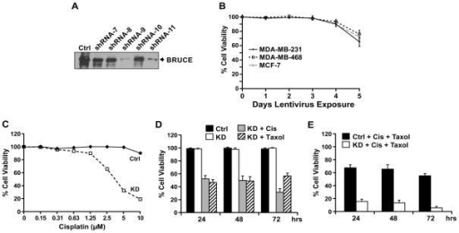 BRUCE knockdown sensitizes resistant MDA-MB-231 cells to cisplatin and taxol-induced cell death(A) Western blot of BRUCE protein levels preand post-lentiviral knockdown for 48 hrs in MDA-MB-231 cells exposed to lentivirus expressing five BRUCE-targeted shRNA (#7 – #11) and a scramble control (ctrl). (B) MTT assay of MDA-MB-231, MDA-MB-468, and MCF-7 cell lines following 1–5 days of lentiviral exposure (shRNA #9). Result of three independent experiments +/− SEM. (C) MDA-MB-231 cells treated with control or shBRUCE lentivirus for two days were exposed to increasing concentrations of cisplatin (0–10 μM) for three days and cell viability was measured by MTT assay. (D) MDA-MB-231 cells were exposed to shBRUCE lentivirus for two days followed by treatment with cisplatin (5 μM) or taxol (0.65 μM) for the indicated time points. Following treatment, the MTT assay for cell viability was performed. (E) MDA-MB-231 cells exposed to shBRUCE lentivirus for two days were co-exposed to cisplatin (2.5 μM) and taxol (0.65 μM) for the indicated time points. Following treatment the MTT assay for cell viability was performed. Result of three independent experiments +/− SEM.