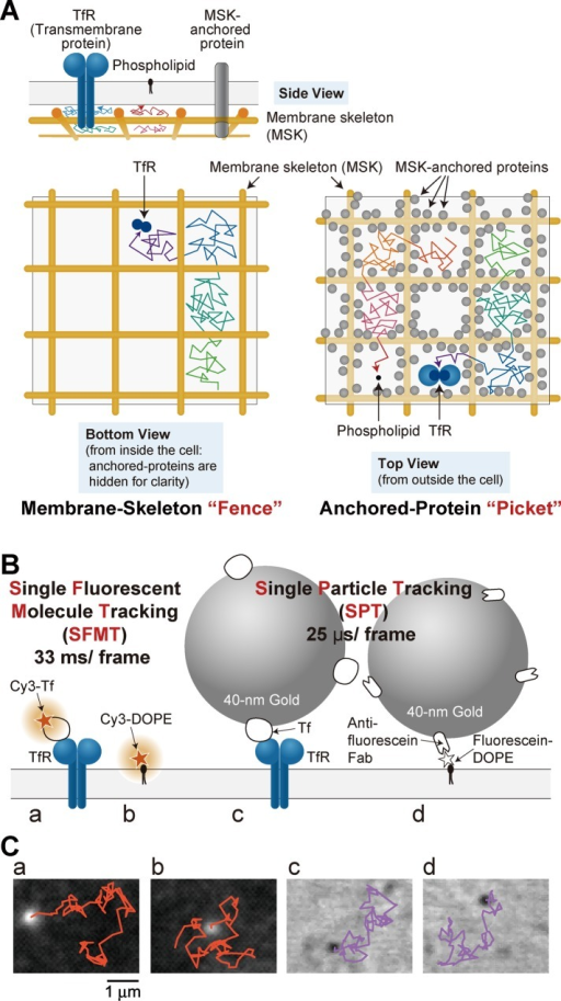 "The MSK fence and anchored-TM-protein picket model, and the single-molecule tracking methods used in this study. (A) Fence-and-pickets model. The PM can be partitioned into compartments, and both TM proteins and lipids undergo short-term confined diffusion within a compartment and long-term hop movements between these compartments, which is termed hop diffusion. Temporary confinement within the compartment is induced by the actin-MSK ""fences"" and the anchored-TM-protein ""pickets"" anchored to and aligned along the actin MSK. In this study, we examined the movements of DOPE and TfR (a native dimer). Side view, a variety of TM proteins (temporarily) bind to the MSK, and these MSK-anchored TM proteins act like ""pickets."" Bottom view, the PM cytoplasmic surface, viewed from inside the cell, showing the MSK ""fence"" model. Top view, many TM proteins are (temporarily) anchored to and aligned along the actin MSK, exerting hydrodynamic circumferential-slowing (enhanced viscosity) and steric-hindrance effects on PM molecules that approach the anchored TM-proteins. (B) Experimental design for SFMT and SPT. For SFMT, TfR tagged with Cy3-Tf (a) and Cy3-DOPE (b) were used. For SPT, TfR tagged with 40-nm-diameter colloidal gold particles coated with a small number of transferrin molecules were used (c). For colloidal-gold labeling of DOPE (d), gold probes coated with anti-fluorescein antibody Fab fragments were bound to fluorescein-conjugated DOPE, which was preincorporated in the PM. The fluorescein moiety was used as a tag for the antibody Fab rather than a fluorescent probe. (C) Images of Cy3 and colloidal-gold probes and their trajectories at video rate for 3 s, observed on the top surface of PtK2 cells. Here a–d are the same as in B."
