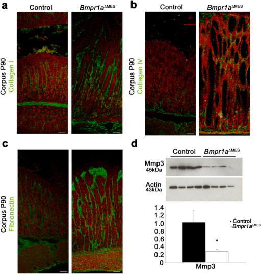 Bmp-deficient activated-fibroblasts lead to gastric ECM remodeling.Immunostaining (in green) against basement membrane (a) collagen-I, (b) collagen-IV and (c) fibronectin was performed in the corpus gland of 90-day-old control and mutant mice. Collagen-I, collagen-IV and fibronectin deposition were increased in Bmpr1aΔMES mice compared to controls. Evans Blue served as counterstain for all immunofluorescences (red staining). (d) Western blot analyses in 90-day-old mice revealed a decrease in matrix metalloproteinase 3 (Mmp-3) in Bmpr1aΔMES mice compared to controls. Actin served as loading control. Densitometry analysis of exposed films using ImageJ revealed a significant decrease in Mmp-3 expression compared to controls (n = 4). Mann-Whitney; *p < 0.05. Scale bar: 50 μm.