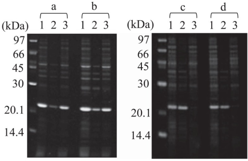 Example of the solubility assay with fluorescent staining of SDS-PAGE. a, wild type, b, 1A2, c, 112A113 and d, 113A114. Lane 1, whole-cell; 2, precipitant; 3, supernatant. The left lane of each panel is the molecular weight marker, and the corresponding molecular weights are given.