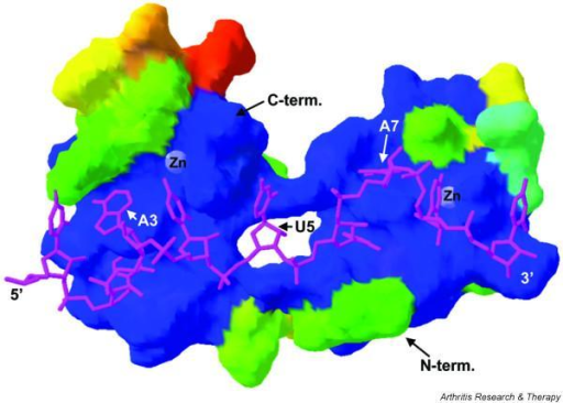 Proposed structure of the human tristetraprolin (TTP) tandem zinc finger domain in complex with the TTP-binding site 5'-UUAUUUAUU-3'. This proposed structure was modeled on the original nuclear magnetic resonance structure described by [32], using their pdb coordinates and the Swiss-Model program. The RNA oligonucleotide is shown in magenta, with the 5' and 3' ends indicated, along with the key residues A3, U5, and A7. The peptide is shown as a surface structure, with the buried zinc residues highlighted and the amino-terminal (N-term.) and carboxy-terminal (C-term.) ends of the peptide shown by arrows. The dark blue residues represent amino acids that are identical between human TTP and the ZFP36L2 (TIS11D) protein used in the original structure. The other colors represent progressively greater amino acid differences between the two proteins, ranging from minimally different (aquamarine, upper right), through green, yellow, and orange, with orange representing the most marked amino acid differences.