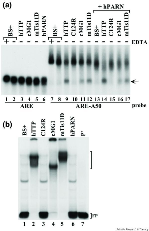 Effects of tristetraprolin (TTP)-related tandem CCCH zinc finger (TZF) proteins to bind AU-rich element (ARE)-containing probes and to promote their deadenylation. HEK-293 cells were maintained, and transient transfection of 1.2 × 106 cells with expression plasmid constructs in calcium phosphate precipitates was performed, as described [22]. To each plate of HEK-293 cells was added 0.2 μg of the TZF protein expression constructs CMV.hTTP.tag (hTTP), a human TTP (hTTP) zinc finger mutant (C124R), CMV.cMG1.tag (cMG1), CMV.mTis11D.tag (mTis11D), 0.1 μg of human poly(A) exonuclease (hPARN) expression plasmid CMV.hPARN.flag (hPARN), or plasmid DNA alone (BS+). The zinc finger protein expression constructs were transfected either with vector alone or together with CMV.hPARN.flag; vector DNA (BS+) was added to each transfection to make the total amount of co-transfected DNA 5 μg per plate. Cytosolic extracts were prepared and used in deadenylation assays as described [23]. (a) Extracts (10 μg of protein per sample) were incubated with probes ARE or ARE-A50 at 37°C for 60 min in the presence (+) or absence (-) of 20 mM EDTA, as indicated. The samples were processed as described previously [23]. The arrow indicates the migration position of the ARE probe (lanes 1–6) and the deadenylated product of probe ARE-A50 (lanes 9, 11, 12, 14, 16 and 17). (b) The extracts used in lanes 7–13 of (a) were incubated with the ARE-A50 probe and used in a gel-shift assay. Lane 7 (P') was loaded with probe alone (digested with RNase T1). The migration positions of the zinc finger protein-RNA complexes are indicated by the bracket to the right of the gel, and the position of the free probe (FP) is also indicated. The bands present in the gel in lane 1 represent endogenous HEK-293 cell proteins shifting the probe; note that this pattern is identical in lane 3, representing a zinc finger mutant of TTP, and in lane 6, representing hPARN alone.