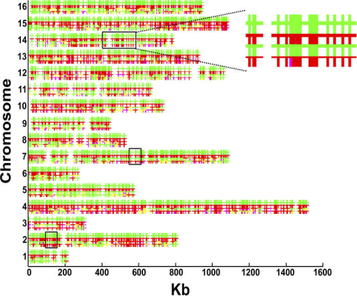 "Hybridization of DNA from Parents and Pools of Segregants (""Low Tail"" and ""High Tail"") to Affymetrix S98 MicroarraysFor each chromosome, the top horizontal line (green) represents hybridizations of S288c DNA and the second line (red) represents hybridizations of SK1 DNA. The third and the fourth horizontal lines represent the hybridizations of the ""low"" and the ""high"" pools, respectively. Each horizontal array (comprised of four lines) represents a given yeast chromosome and the physical genomic positions along the chromosome. The small vertical bars represent probes containing polymorphisms between strains SK1 and S288c (alleles are colored according to their parental colors). The small vertical bars on the third and fourth lines of each chromosome represent the inherited allele in the pools: green is S288c and red is SK1. Inheritance of a mixture of alleles is marked either yellow (composition closer to S288c) or pink (closer to SK1). Three regions show consistent inherited differences in allele frequencies between the low and the high pools (boxes). These regions are located on Chromosome 2 (95–157 kb from the left end), Chromosome 7 (500–612 kb), and Chromosome 14 (400–585 kb)."