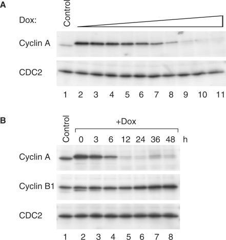Regulation of cyclin A expression in stable cyclin A/shRNA-expressing cells. (A) Dose-dependent repression of cyclin A by doxycycline in stable cyclin A/shRNA-expressing cells. A cyclin A/shRNA-stable cell line (clone 11) was treated with different doses of doxycycline (from lanes 2–11: 1.3, 2.6, 3.3, 4.4, 6.6, 13.3, 40, 400 and 2000 ng/ml) for 48 h. Cell-free extracts were prepared and the expression of cyclin A was detected by immunoblotting. Extracts from control cells were loaded in lane 1 and CDC2 analysis was included to assess protein loading and transfer. (B) Time-dependent repression of cyclin A by doxycycline in stable cyclin A/shRNA-expressing cells. A cyclin A/shRNA-stable cell line (clone 3) was exposed to 2 µg/ml of doxycycline and harvested at the indicated time points. Cell-free extracts were prepared and were subjected to immunoblotting for cyclin A and cyclin B1. Extracts from control cells were loaded in lane 1 and uniform loading of lysates was confirmed by immunoblotting for CDC2.