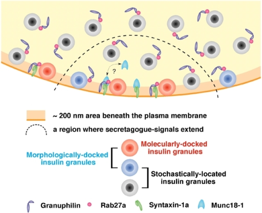 Schematic model for docked granules. Morphologically docked granules, whose centers reside within 200 nm of the plasma membrane in this figure, consist of molecularly docked granules (red) and those just stochastically located close to the plasma membrane (blue). Granuphilin links insulin granules to the fusion-incompetent, closed form of syntaxin-1a, although it is currently unknown whether it interacts with free syntaxin-1a or the syntaxin-1a–Munc18-1 complex. Such molecularly docked granules need to be primed for fusion. The priming reaction somehow disassembles the docking protein complex and enables syntaxin-1a to adopt an open configuration and thus to form a complex with other SNARE proteins. In response to a secretory stimulus, primed molecularly docked granules (some of the red granules), molecularly undocked but morphologically docked granules (blue), and even undocked granules (black) can be released from a region where secretagogue-dependent signals extend (inside of the dashed line). Although there are no molecularly docked granules (red), evoked exocytosis is augmented in granuphilin-deficient cells, indicating that molecular docking is inhibitory for fusion.