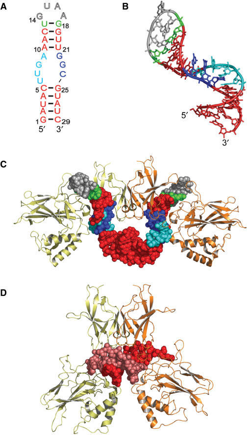 Anti-NF-κB RNA aptamer and crystal structure in complex with NF-κB p502. (A) Proposed secondary structure of the 29-nt anti-NF-κB RNA aptamer in solution. The RNA hairpin studied here is identical in sequence to the RNA aptamer co-crystallized with NF-κB p502 (with exception of the inversion of terminal nucleotides G1 and C29). Canonical RNA Watson–Crick base pairs are red, the 5′ region of the internal loop is cyan, the wobble pair is green, the GNRA-type tetraloop is gray, and the 3′ region of the internal loop is blue. (B) RNA aptamer structure extracted from the crystal structure and colored as in (A). (C and D) Comparison of the crystal complex of NF-κB p502 with the RNA aptamer (PDB ID 1OOA) or with bound DNA (PDB ID 1NFK). RNA binding requires substantial opening of the Rel homology domains (8,9). The two p50 subunits are shown in orange and yellow. Nucleic acids are shown as space filling models, where the RNA aptamer structures (C) are colored as in (A) and DNA structure (D) is colored red and pink.