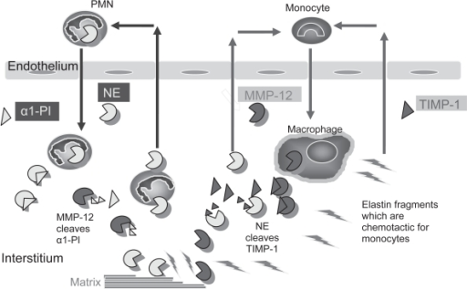 Interactions between proteinases regulate inflammation and ECM destruction in mice chronically exposed to cigarette smoke. Neutrophil elastase (NE) promotes inflammation and ECM destruction in mice chronically exposed to cigarette smoke by increasing the influx of PMN and monocytes into the lung (by unknown mechanisms), and by cleaving and inactivating TIMPs to promote MMP-12 mediated ECM degradation. MMP-12 amplifies NE-mediated lung inflammation and destruction by cleaving and inactivating α1-PI, the major inhibitor of NE in the lower respiratory tract. Fragments of elastin generated by MMP-12 (and possibly by NE) amplify MMP-12-mediated lung injury by stimulating the recruitment of blood monocytes into the lung.