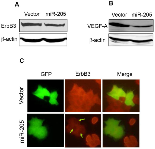 Suppression of the endogenous ErbB3 and VEGF-A by miR-205A and B, Western blot revealing reduced level of ErbB3 in miR-205 transfected MCF-7 cells and reduced VEGF-A level in miR-205 MDA-MB-231 cells. C. Detection of ErbB3 in MCF-7 cells by immunofluorescence staining. Note that the ErbB3 signal was very weak in the miR-205 transfected cells in right panel.