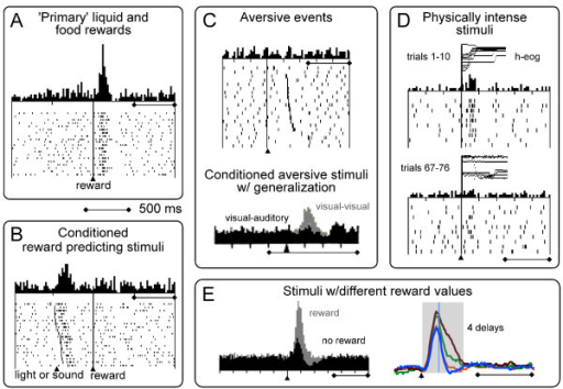 Phasic activations of neurophysiological impulse activity of dopamine neurons. A: Phasic activations following primary rewards. B: Phasic activations following conditioned, reward predicting stimuli. C: Top: Lack of phasic activation following primary aversive air puff. Bottom: substantial activating population response following conditioned aversive stimuli when stimulus generalization by appetitive stimuli is not ruled out; grey: population response to conditioned visual aversive stimulus when appetitive stimulus is also visual; black: lack of population response to conditioned visual aversive stimulus when appetitive stimulus is auditory. D: Phasic activations following physically intense stimuli. These activations are modulated by the novelty of the stimuli but do not occur to novelty per se. E: Left: Shorter and smaller activations followed frequently by depressions induced by unrewarded control stimuli (black) compared to responses following reward predicting stimuli (grey). Right: Activations to delay predicting stimuli show initial, poorly graded activation component (left of line) and subsequent, graded value component inversely reflecting increasing delays (curves from top to bottom). Time scale (500 ms) applies to all panels A-E. Data from previous work [29,31-33,43,59].