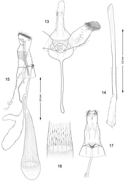 Genitalia, Macrosaccus robiniella. 13–14 Male. 13 Genital capsule, ventral view 14 Aedeagus. 15–17 Female. 15 Lateral view 16 Detail of signa within corpus bursae 17 Segments 7–10, ventral view.