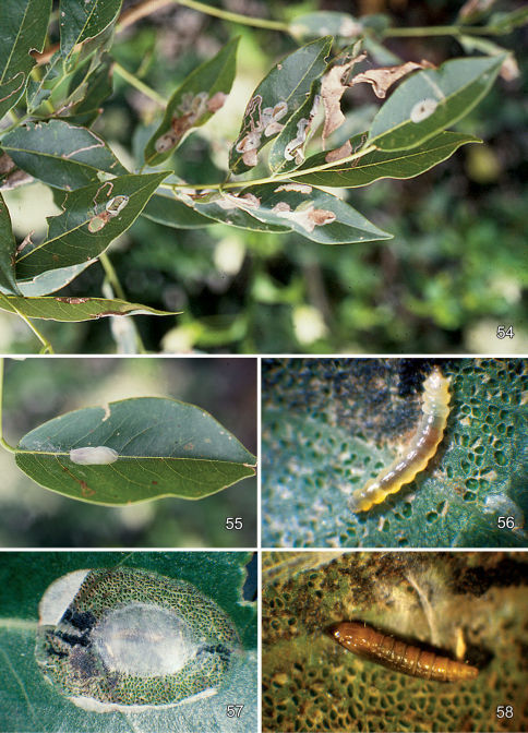 Leafmines of Macrosaccus gliricidius on Gliricidia sepium. 54 General damage to host 55 Adaxial blotch mine 56 Late instar tissue feeding larva 57 Open blotch mine with single cocoon 58 Pupa with cocoon removed. Photographs by R. Cave.