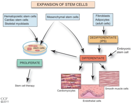 Expansion of stem cells.Reprinted with permission, Cleveland Clinic Center for Medical Art & Photography © 2011–2012. All Rights Reserved.Notes: Currently, increased numbers of autologous hematopoietic, mesenchymal, cardiac, endothelial, and skeletal stem cells can be generated by expansion in culture with proliferation specific conditions. Adult cells such as fibroblasts or adipocytes may be dedifferentiated in culture to stem cells (iPS cells). MSCs, iPS cells, and ESCs can be induced to differentiate and proliferate in cell culture. Use of differentiated MSCs, iPS cells, and ESCs is in preclinical development.Abbreviations: ESC, embryonic stem cell; iPS, induced pluripotent stem; MSC, mesenchymal stem cell.